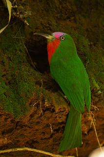 จาบคาเคราแดง Red-bearded Bee-eater (male) - Nyctyornis amictus
