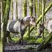 20180417_F0001: Wild horses in the wild woods