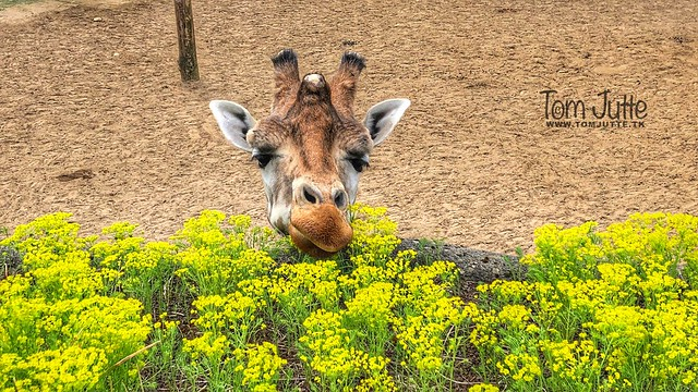 Giraffe smells the spring flowers, Burgers Zoo, Netherlands - 0993