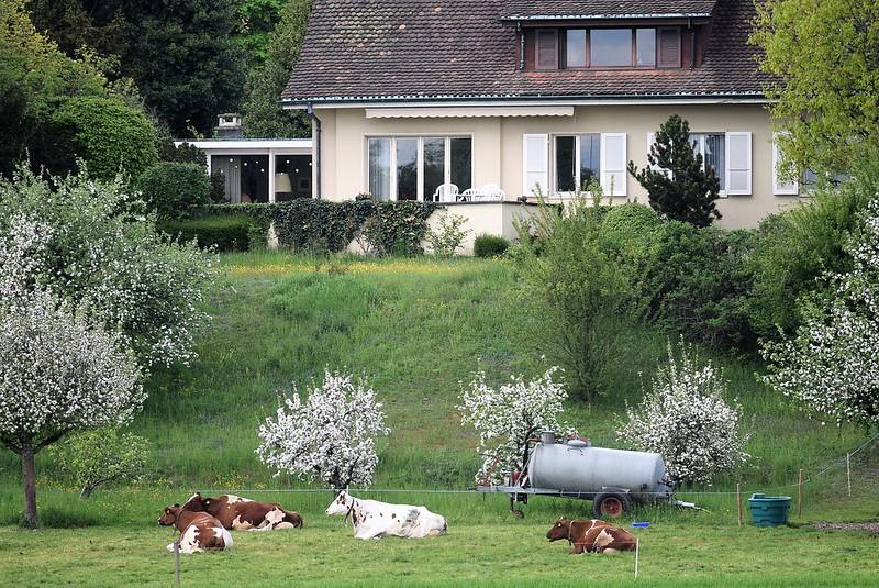 Cows 26.04 (6)
