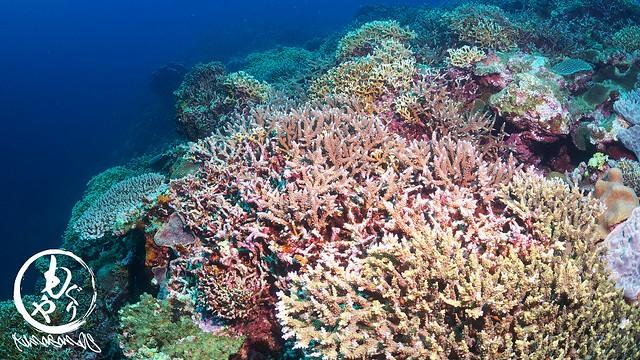 朗報♪♪嘉弥真島のサンゴ、結構復活してました!!!