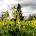 Cowslips in profusion (Primula veris)