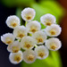 Hoya lacunosa by Cathy's Photography