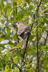 Haemorhous mexicanus frontalis - female