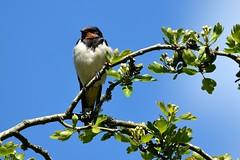 Swallows & Martins