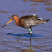 black-tailed godwit 10 2018
