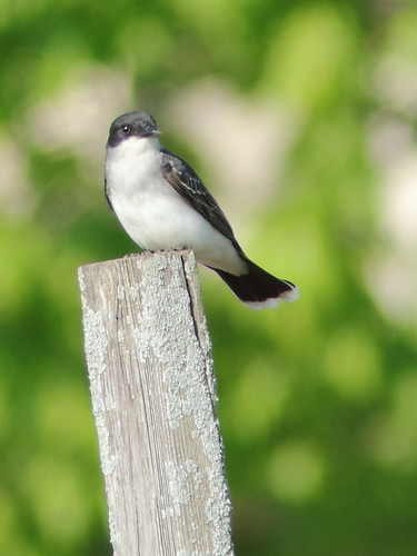 Eastern Kingbird 20180516