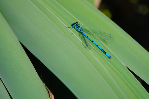 First damselfly of the year