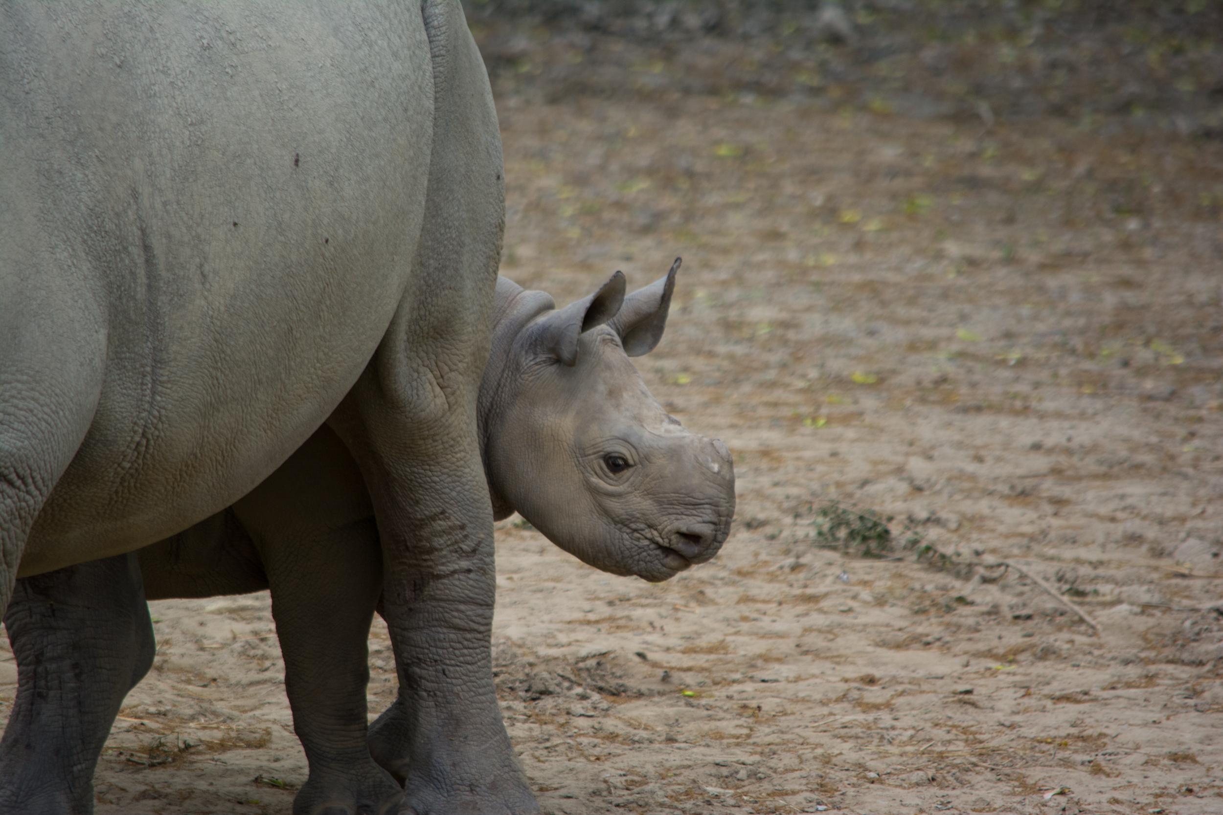 baby rhino 05 - Cleveland Zoo