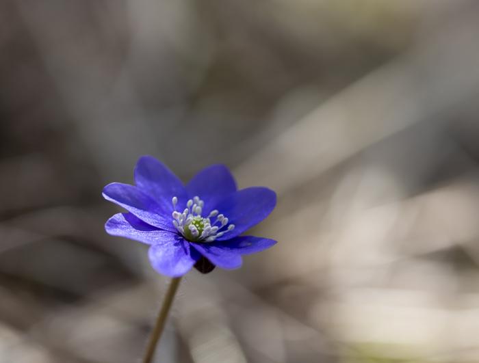 kukkiva sinivuokko kukka kevät