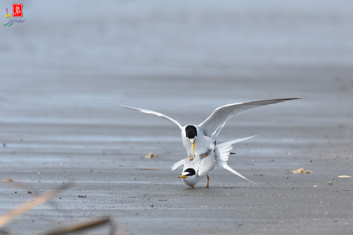 Little_Tern_4350