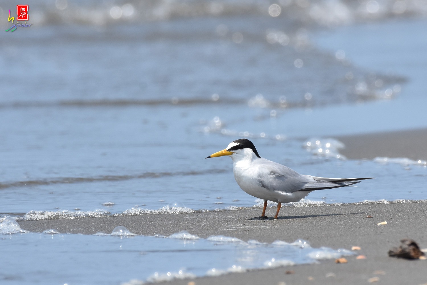 Little_Tern_4964