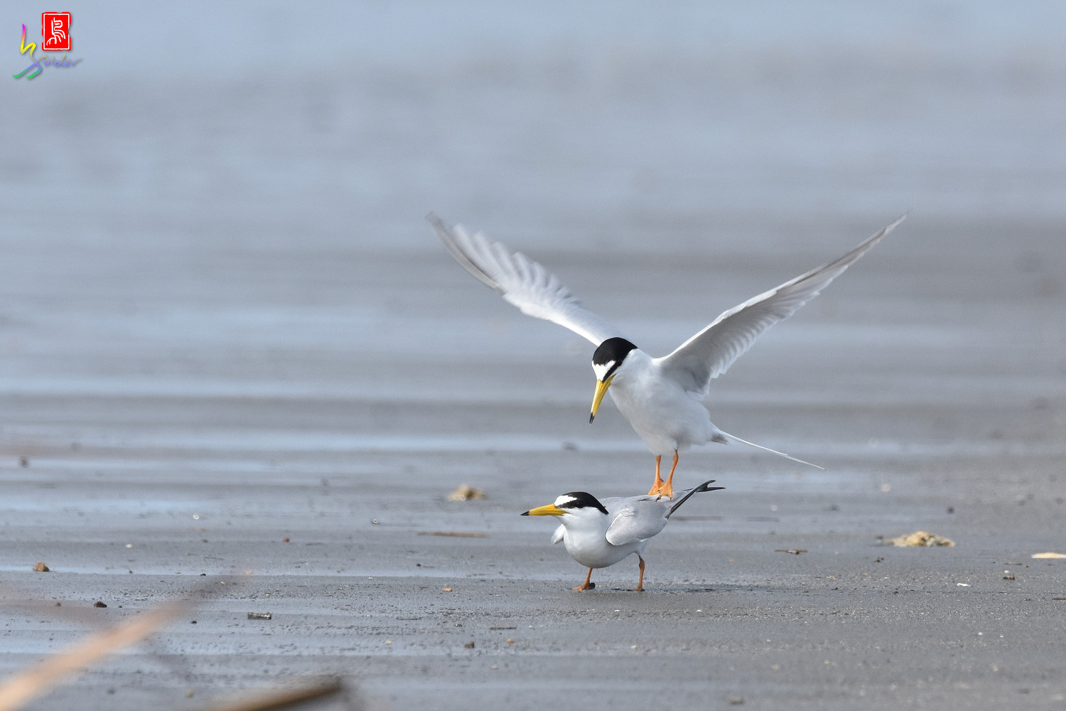 Little_Tern_4354