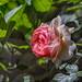 2018 Spring rose