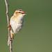 Sedge Warbler, Acrocephalus schoenobaenus