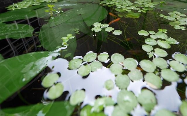 ヒツジグサ 未草 睡蓮 水生植物 Nymphaea tetragona Georgi