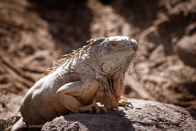 In iguana plenum... 😅😉