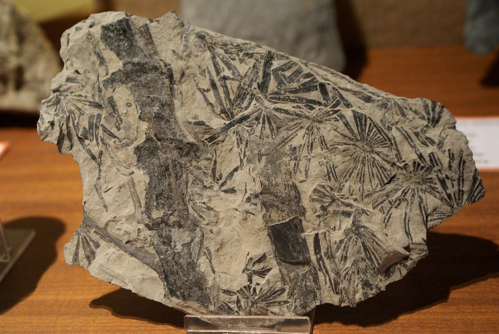Paléobotanique : Fossile de bambous dans le musée botanique à Naples.