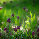 Fritillaria meleagris, Uppsala, May 10, 2018