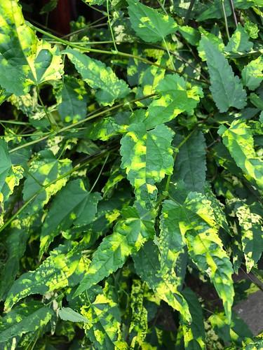Abutilon megapotamicum 'Variegatum', NYBG