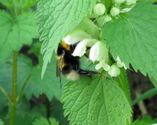 Small Garden Bumblebee - Bombus hortorum