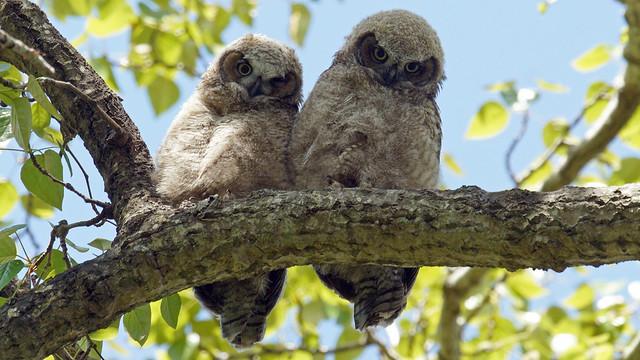 Great Horned Owlets, Sony ILCA-99M2, Sony 500mm F4 G SSM (SAL500F40G)