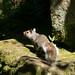Grey Squirrel  46
