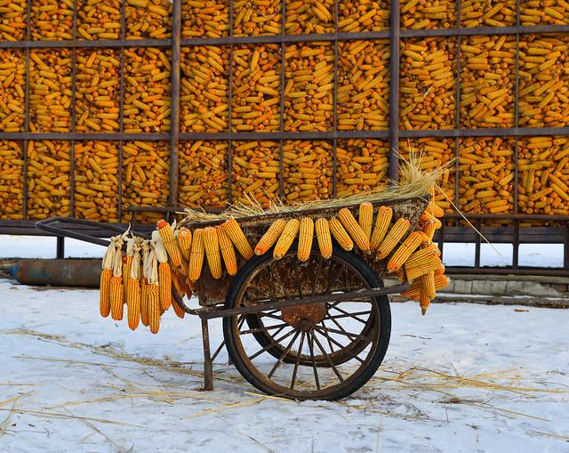 Dried corn in warehouse