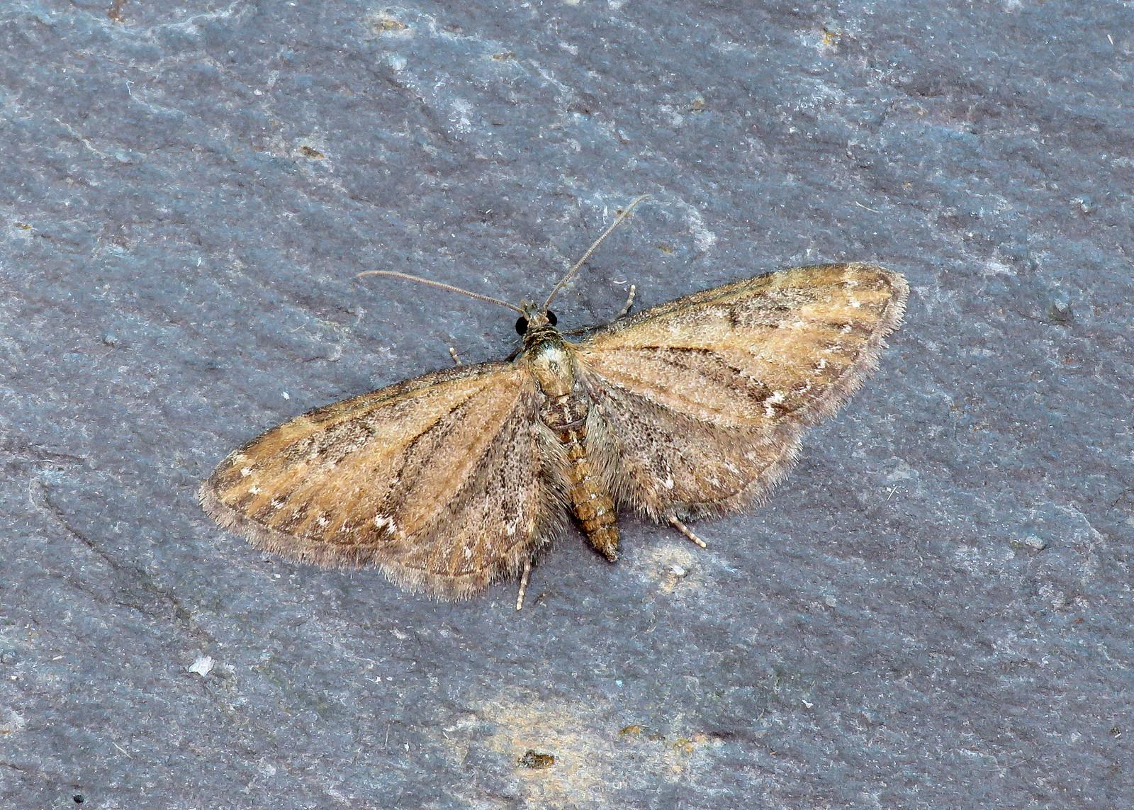 70.160 White-spotted Pug - Eupithecia tripunctaria