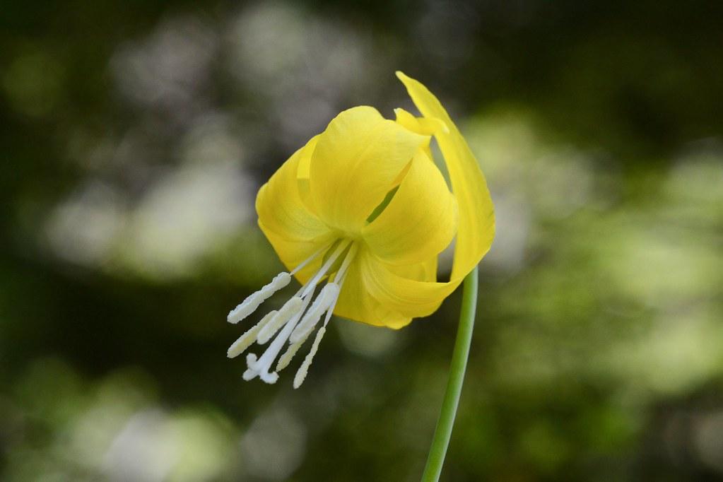 Glacier lily, Avalanche Lily