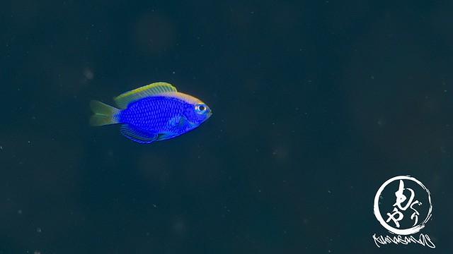 セナキルリスズメダイ幼魚いっぱい♪