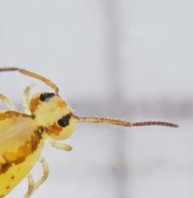 Heterosminthurus bilineatus