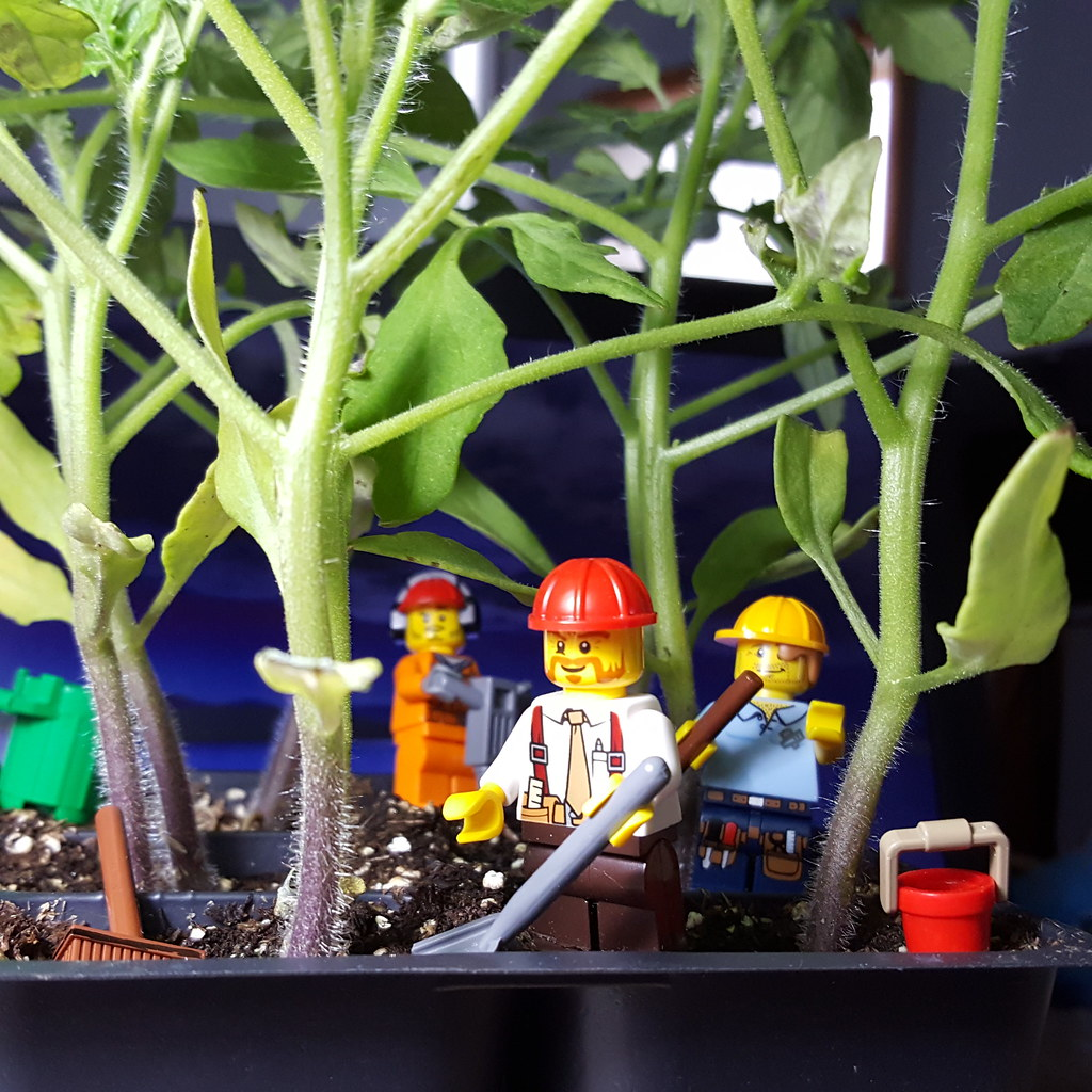 LEGO workers getting the tomato plants ready for outdoor planting