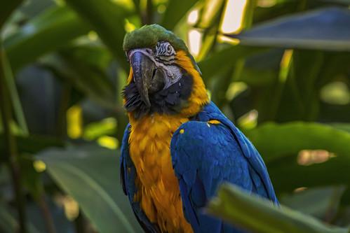 Guacamayo Barriga Amarela