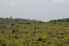 Масайский жираф, Giraffa camelopardalis tippelskirchi, Masai Giraffe
