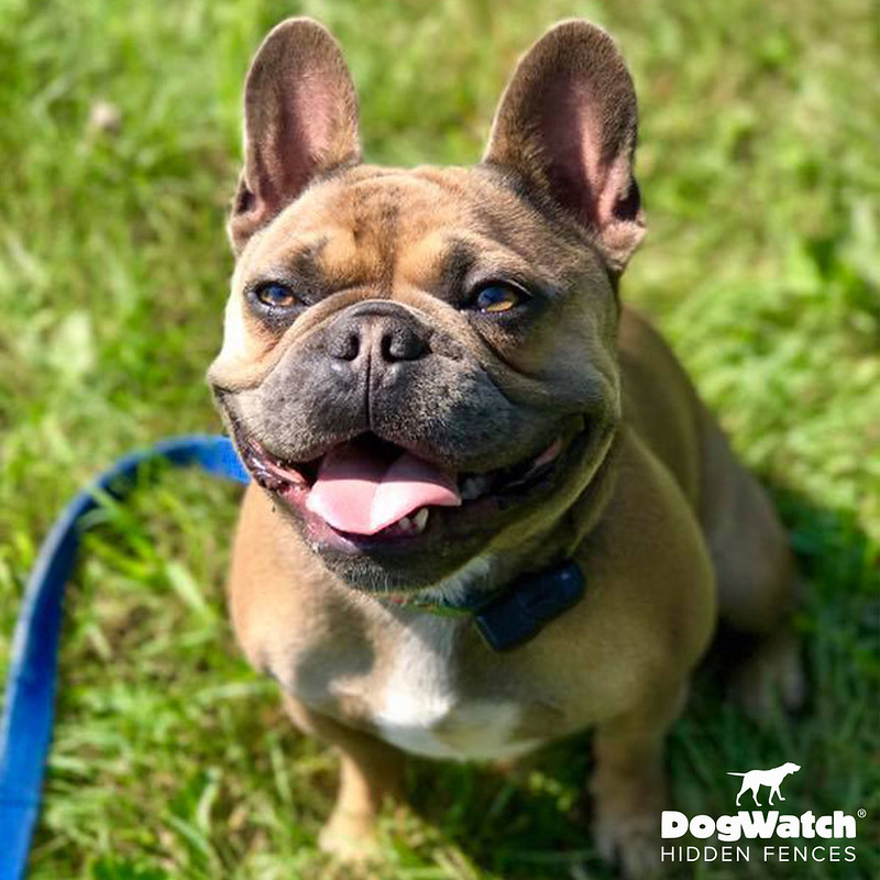 Bruce, French Bulldog, DogWatch by K9 Keeper Fencing