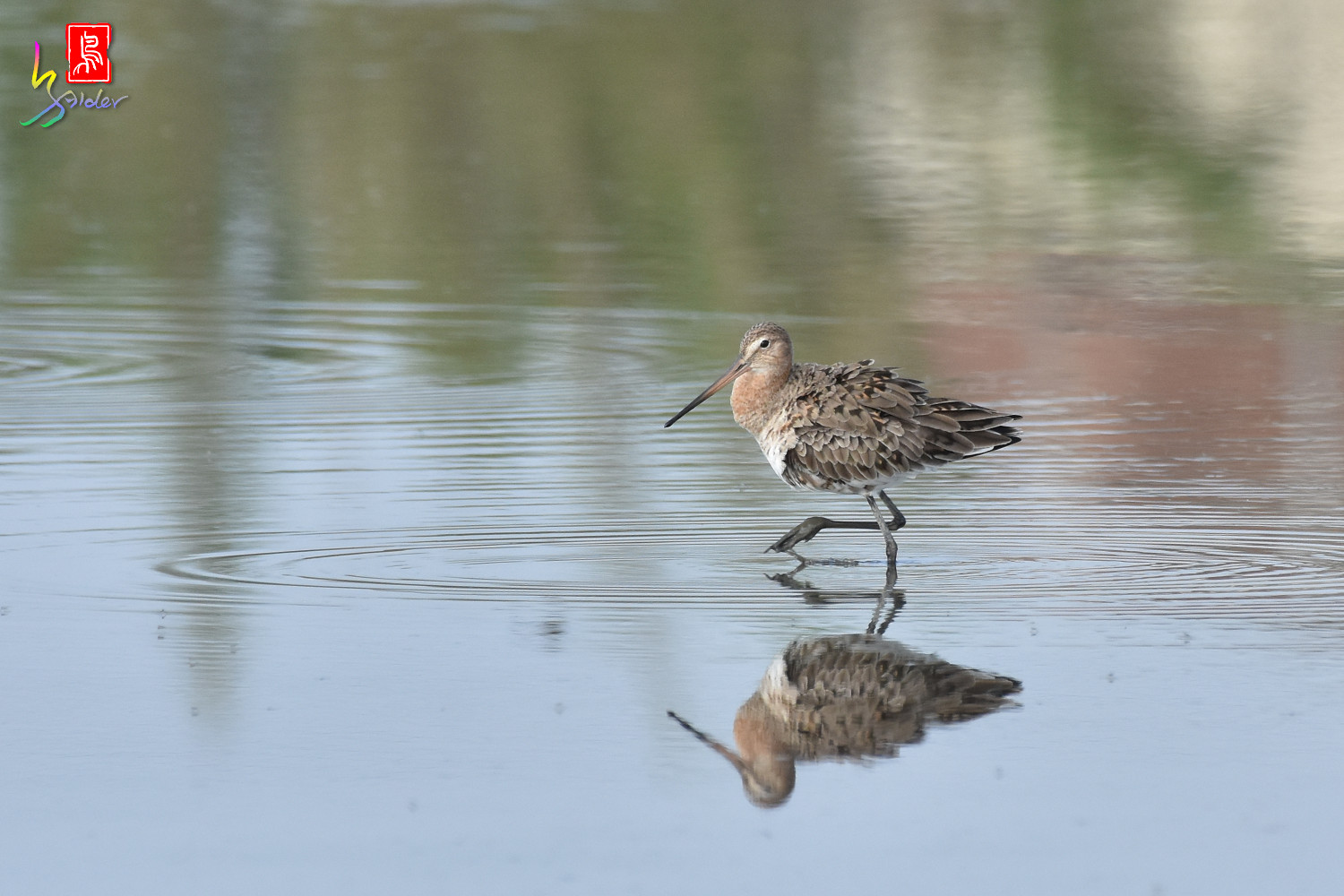 Black-tailed_Godwit_6664