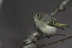 Image by Sylvain Prince (sylvain_prince) and image name Roitelet à couronne rubis ♂ Ruby-crowned kinglet photo  about Un beau mâle hyperactif que je n'avais pas encore capté. Pas farouche, il était parfois trop proche pour que je puisse le photographier. ------------------------------------------ Not shy, sometimes I could not photograph him because he was too close of me.