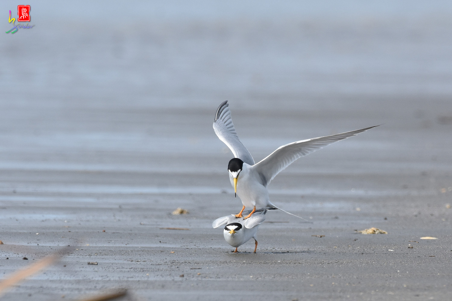 Little_Tern_4390