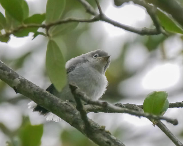 Fledgling Blue-gray Gnatcatcher - 2