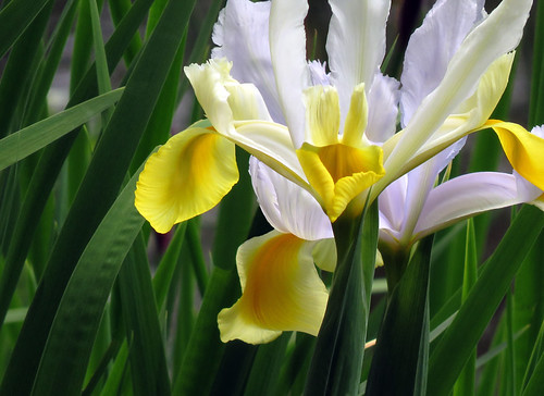 Yellow & White Flag Iris in May