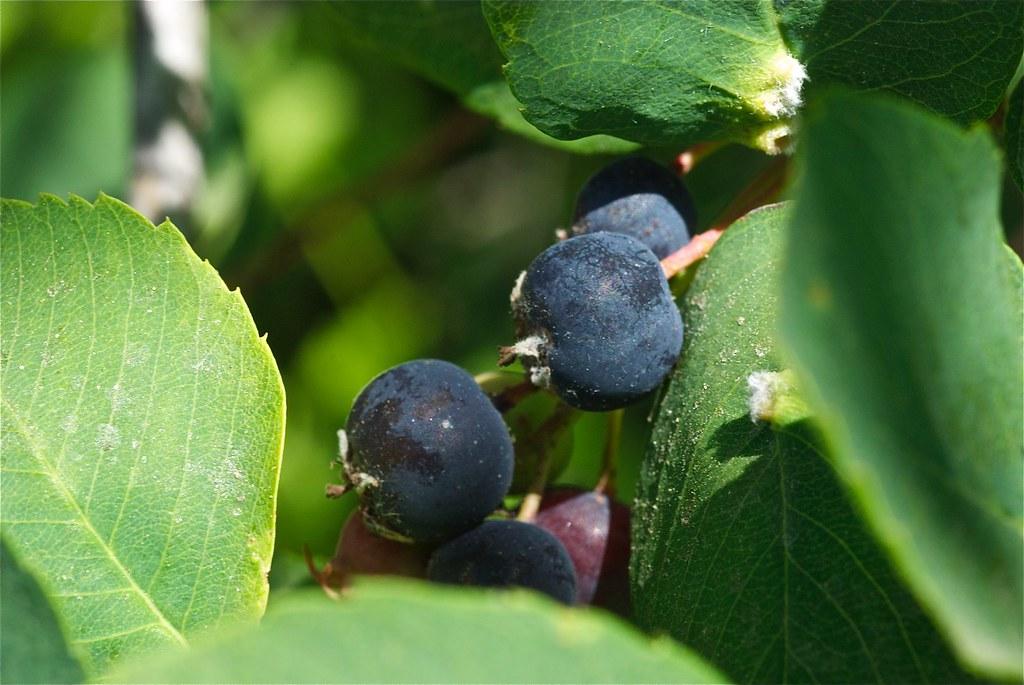 Saskatoons, Western Service berries