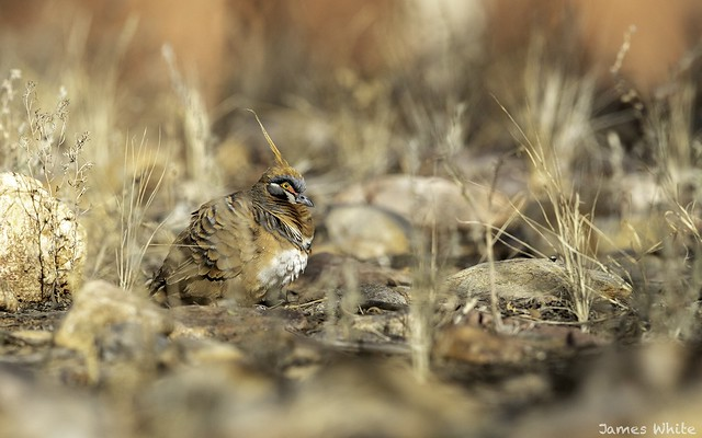 Spinifex pigeon, Canon EOS-1D X MARK II, Canon EF 600mm f/4.0L IS II USM