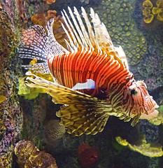 Akron Zoo 06-06-2014 - Lionfish 2