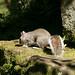 Grey Squirrel  48