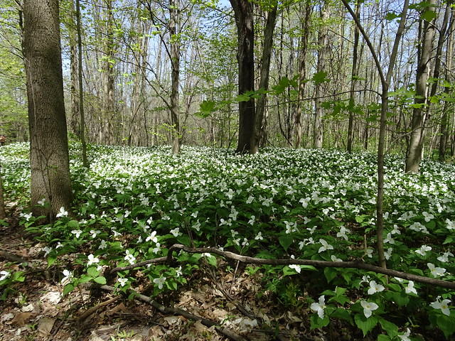 A Carpet of Trilliums