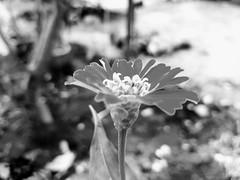 zeeniya flower