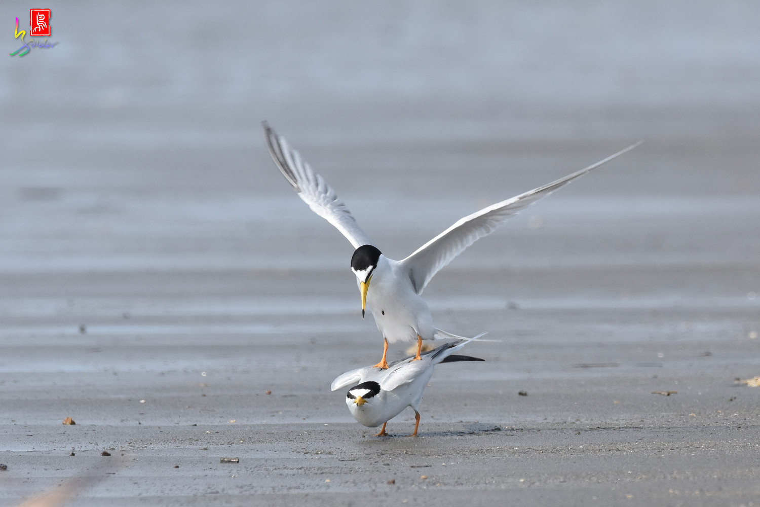Little_Tern_4439