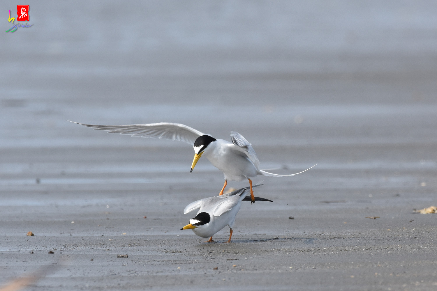 Little_Tern_4438