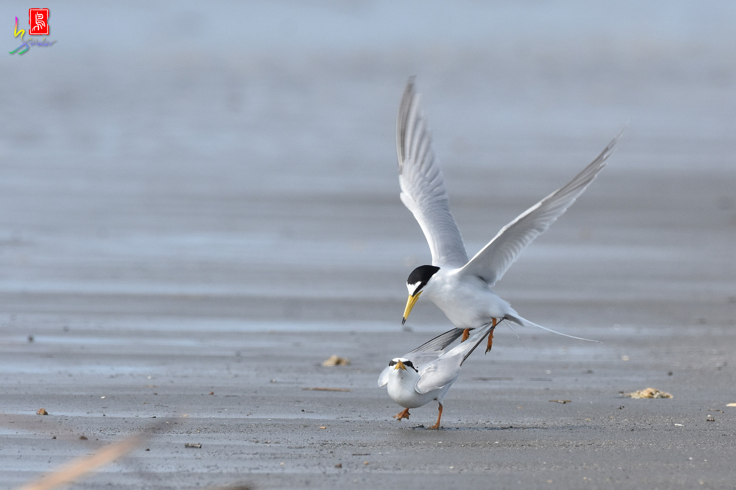 Little_Tern_4399